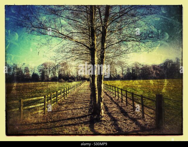 Birch trees fencing and farmland - Stock Image