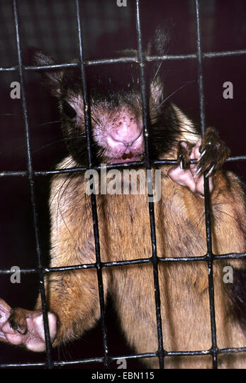 Indian giant squirrel (Ratufa indica), behind bars - Stock Image