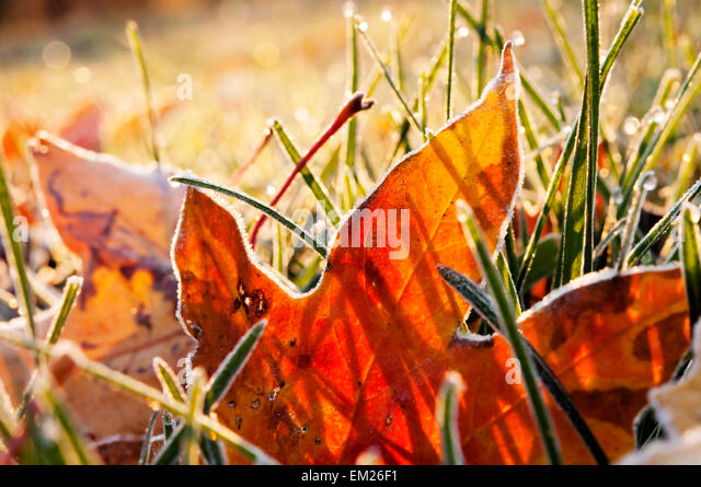 Fall Frost Leaves - Stock Image