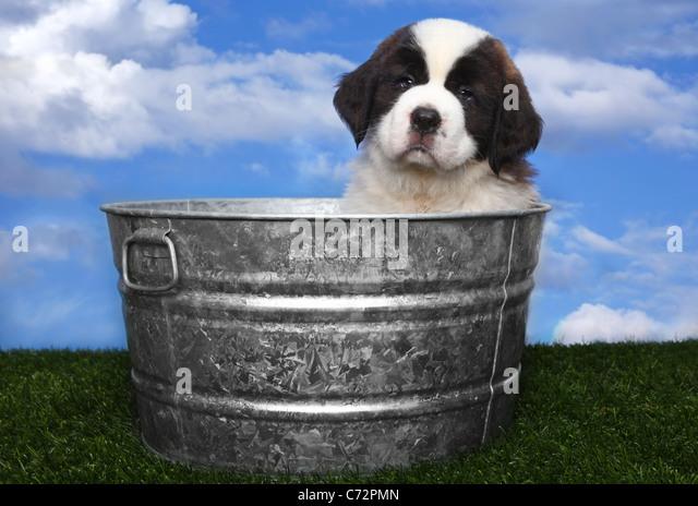 Adorable Saint Bernard Puppy Portrait - Stock Image