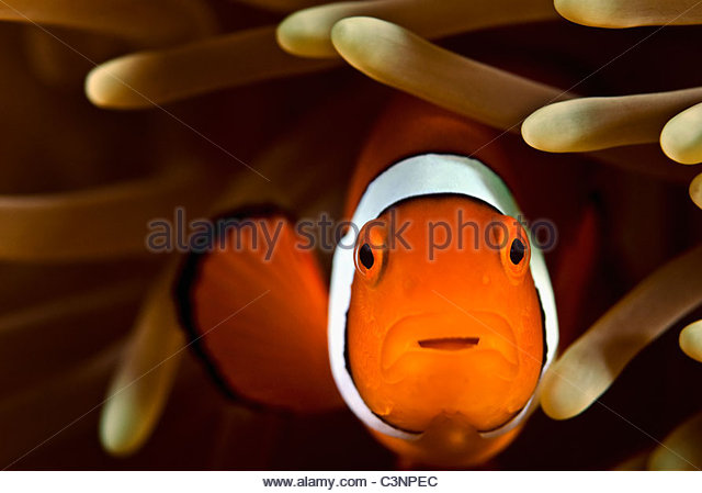 Clown fish Great Barrier Reef Australia - Stock Image
