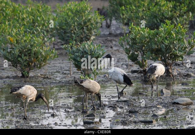 Wild Sacred ibis (Threskiornis aethiopicus) on mangrove swamp mudflats, Guandu, Taiwan - Stock Image