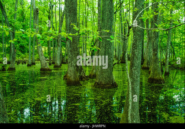 Cypress Swamp on the Natchez Trace in Mississippi - Stock Image
