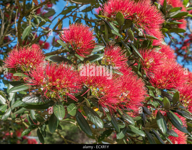 Flowering Pohutukawa tree at mouth of Puhoi River, Wenderholm Regional Park, Auckland, New Zealand - Stock Image