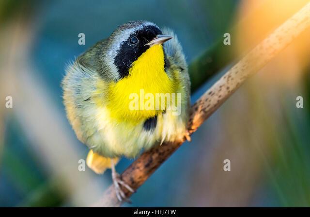 Common Yellowthroat (Geothlypis trichas) - Green Cay Wetlands, Boynton Beach, Florida, USA - Stock Image