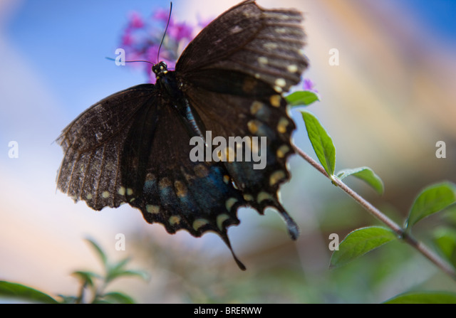 black butterfly hovering on a purple butterfly bush, with blue background - Stock-Bilder