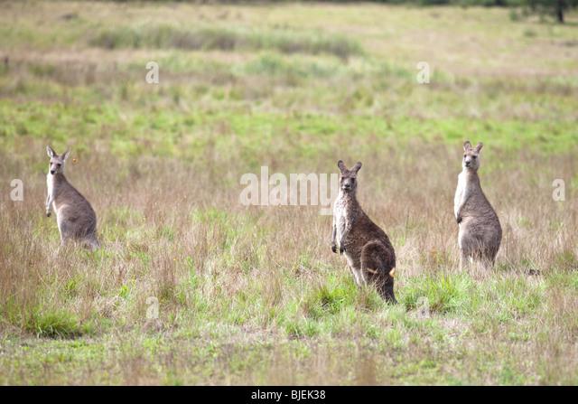Western Grey Kangaroo ,Macropus fuliginosus , Kociuszko National Park, NSW, Australia - Stock Image