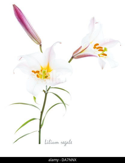 Regal lily (Lillium regale) trumpet flowered lily bud and leaves on the white background July England UK Europe - Stock Image