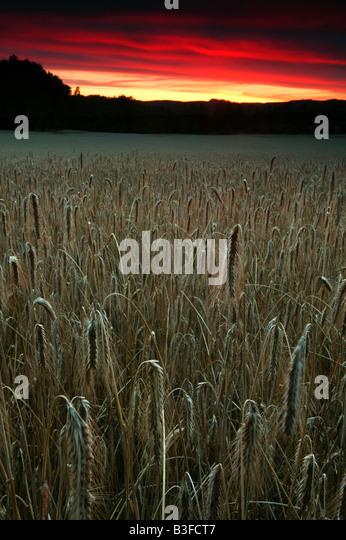 Fields at sundown in Hvitsten, Akershus fylke, Norway. - Stock-Bilder