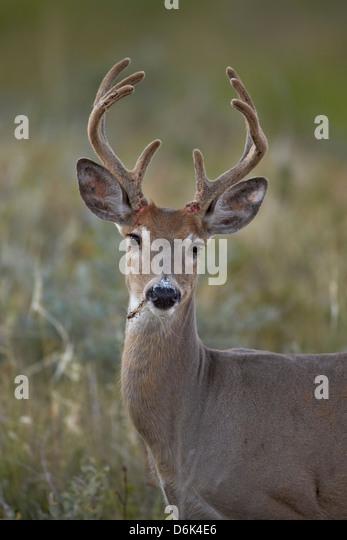 White-tailed deer (whitetail deer) (Virginia deer) (Odocoileus virginianus) buck, Custer State Park, South Dakota, - Stock Image