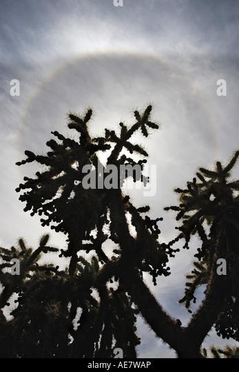 teddy bear cactus (Opuntia bigelowii), sun halo over a couple of plants in the desert, USA, Arizona, Tucson - Stock Image