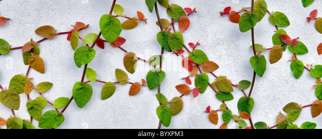 Climbing vine on white wall. Los Angeles, CA - Stock-Bilder