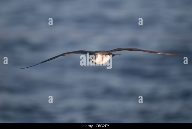 Arctic Skua Stercorarius parasiticus A pale morph in flight. July. Shetland Islands, Scotland, UK Photographer.Andrew - Stock-Bilder