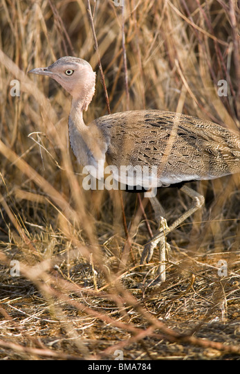 Buff-crested Bustard - Samburu National Reserve, Kenya - Stock Image