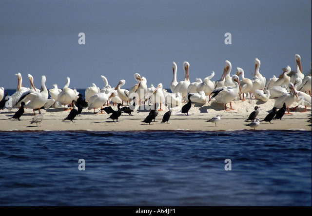 Cedar Key Florida NWR flock white pelicans - Stock Image