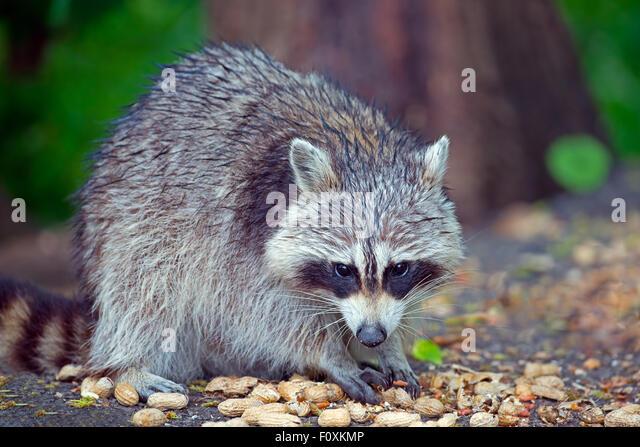 Raccoon - Stock Image