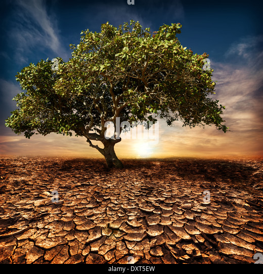Global warming concept. Lonely green tree under dramatic evening sunset sky at drought cracked desert landscape - Stock Image