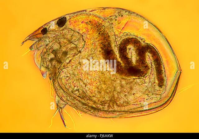 phyllopods, branchiopods (Phyllopoda, Branchiopoda), single phyllopod ...