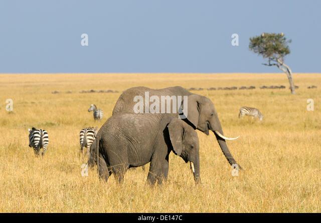 African Bush Elephant (Loxodonta africana), group wandering landscape, Masai Mara National Reserve, Kenya, East - Stock Image