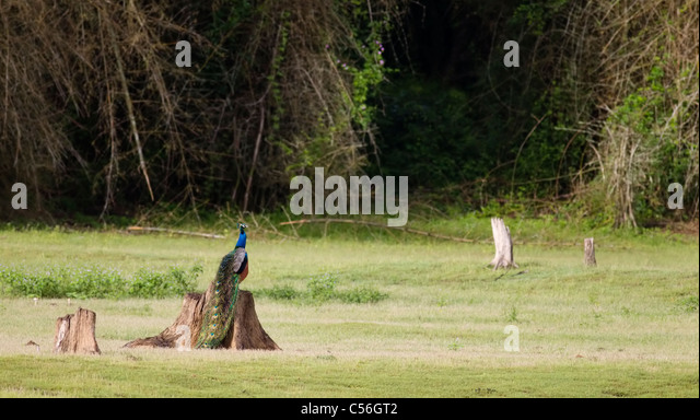 A peacock sitting on a tree stump in a forest clearing - Stock-Bilder