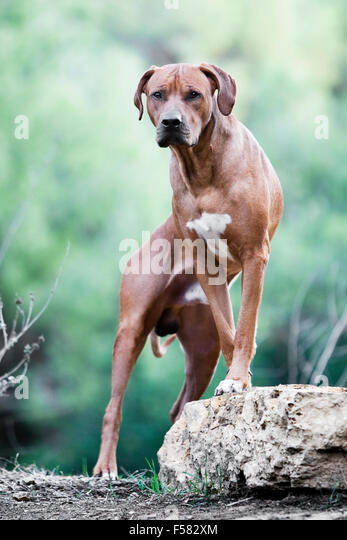 Bold and powerful portrait of male adult Rhodesian Ridgeback dog facing camera with front feet propped up on a rock - Stock Image