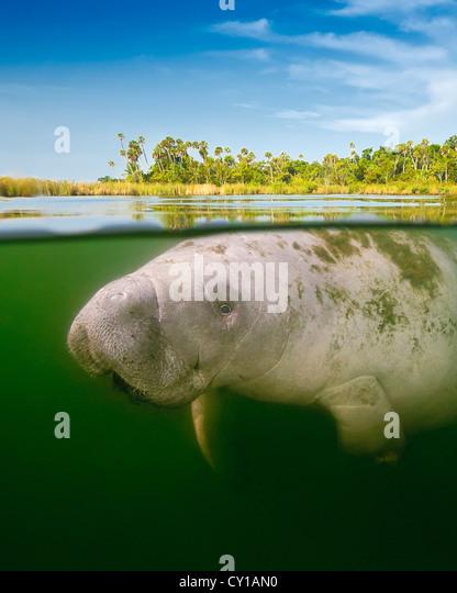 Florida Manatee, Trichechus manatus latirostris, Crystal River, Florida, USA - Stock Image