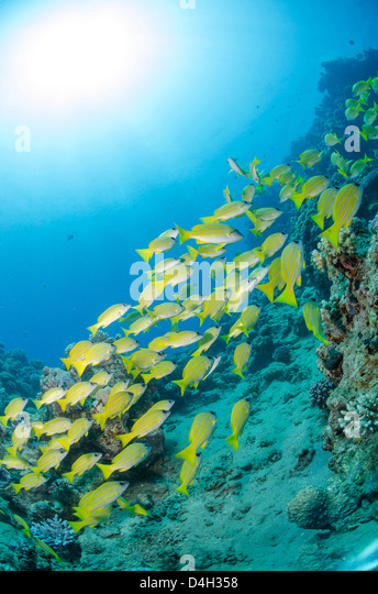 Medium shoal or school of blue striped snapper close to coral reef, Naama Bay, Sinai, Egypt, Red Sea, Egypt, North - Stock Image