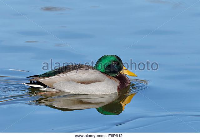 Male Mallard Duck (Anas platyrbyncbos) - Stock Image