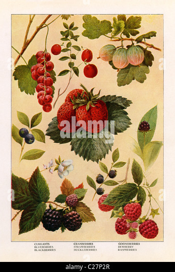 A vintage color illustration of berries from the Grocer's Encyclopedia, c. 1911. - Stock Image