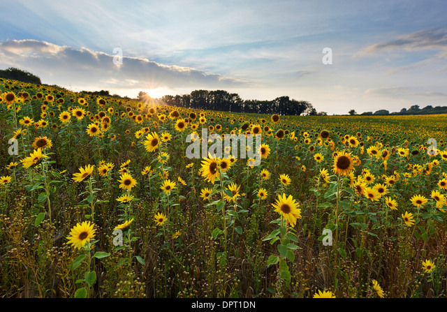Field of sunflowers growing at Churchtown Farm Nature Reserve, Saltash - Stock Image