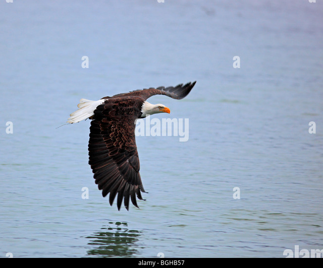 Bald eagle flying over water - Stock Image