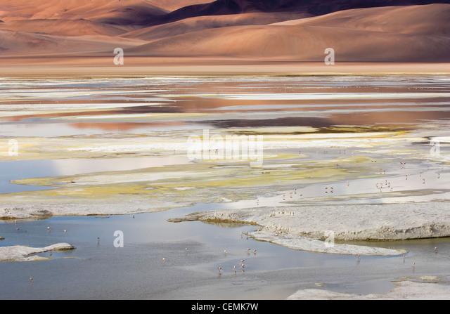Laguna / Chilean Flamingo - Stock-Bilder