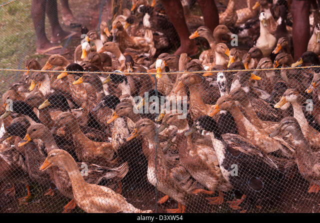 Ducks in the farming net- guarded by the keepers-at a Geese nursery on a water body on the way to Alleppy- Kerala,India. - Stock Image