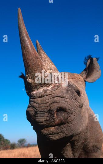 Black Rhinoceros Diceros bicornis Endangered species Localised Southern Eastern Central West Africa - Stock-Bilder