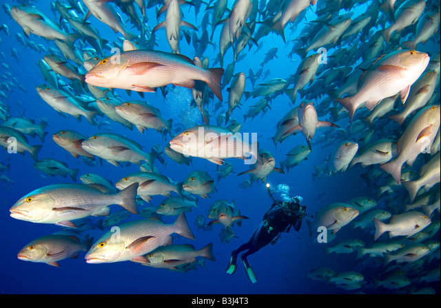 Scubadiver observing a scholl of dogtooth snappers matting around Ras Mohammed. - Stock Image