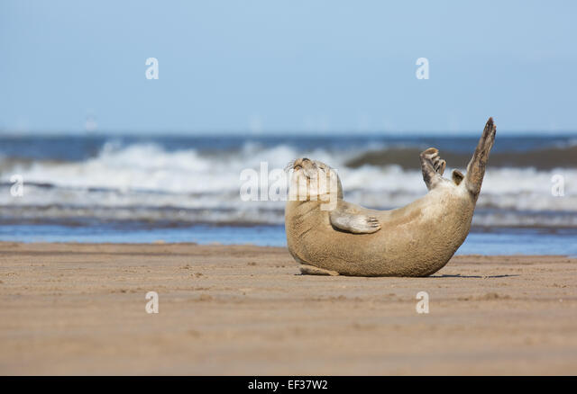 A Common seal pup stretches on Donna Nook beach, Lincolnshire, UK - Stock Image