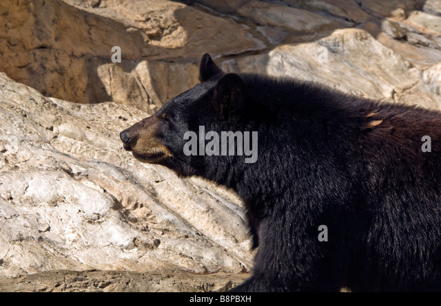 Black bear San Antonio Zoo Texas tx wild animals outdoors popular tourist attraction - Stock Image