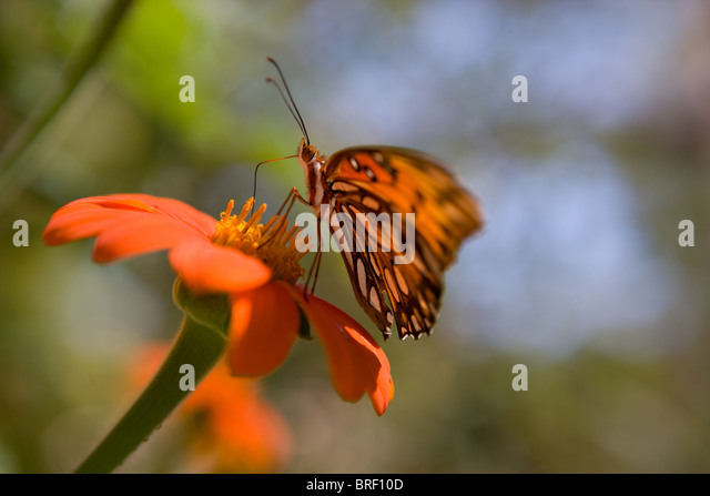 closeup of a black and orange monarch butterfly on a zinnia flower - Stock-Bilder