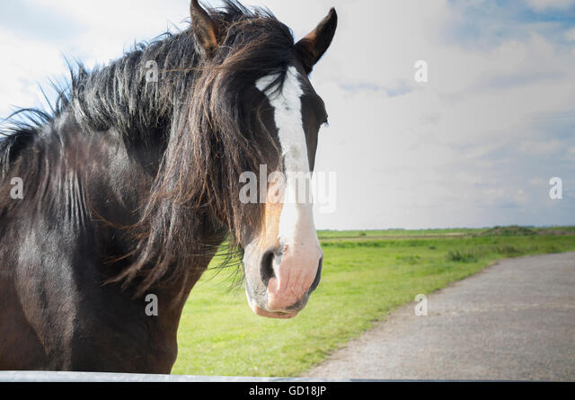 A beautiful brown horse with a white flash in a grazing pasture - Stock Image