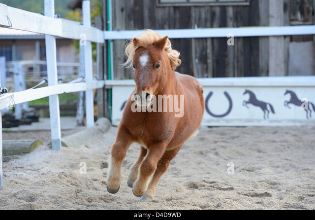 Shetland pony gallopping in a show-jumping course, portrait - Stock Image
