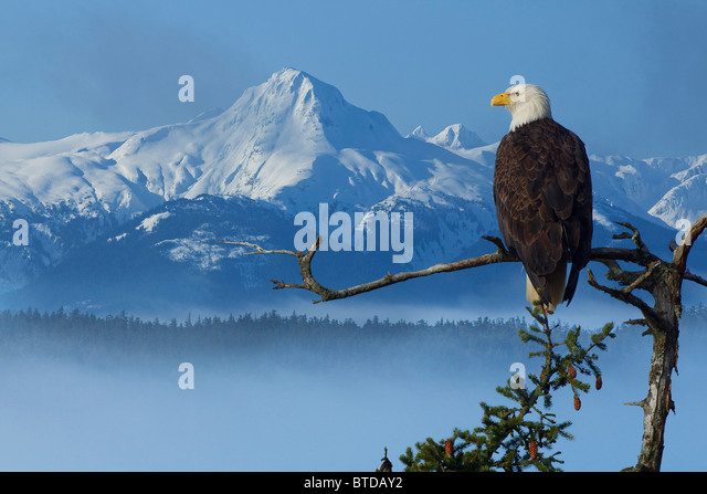 Bald Eagle perched on Spruce branch overlooking the Chilkat Mountains and fog filled Tongass National Forest, Alaska - Stock-Bilder