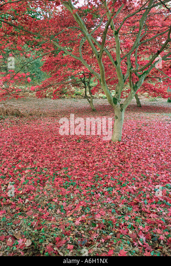Red leaf maple tree - Stock Image