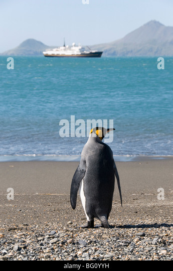 King penguin, Moltke Harbour, Royal Bay, South Georgia, South Atlantic - Stock Image