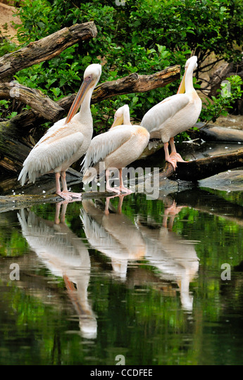 Great White Pelicans / Eastern White Pelican (Pelecanus onocrotalus) preening feathers, native to Africa, Asia and - Stock Image