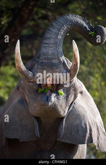 Adult bull African Elephant feeding. Banks of the Luangwa River. South Luangwa National Park, Zambia. - Stock-Bilder