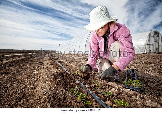 Woman planting seedlings on organic farm, Colorado, America, USA - Stock Image