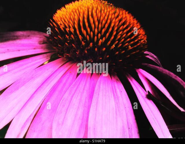 Echinacea - Stock-Bilder