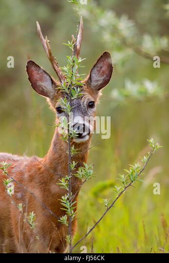 roe deer (Capreolus capreolus), buck marking, Germany, Brandenburg - Stock Image