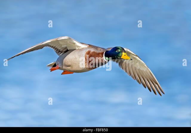 Male Mallard in flight - Stock Image