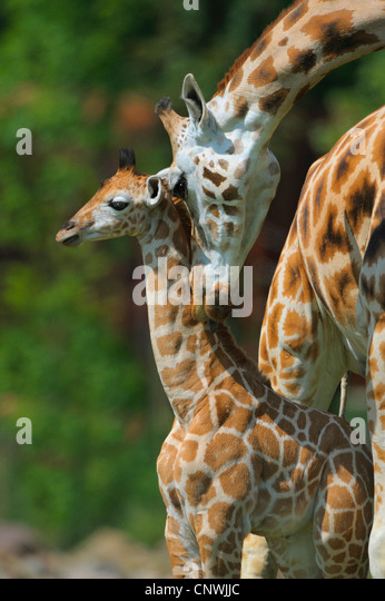 giraffe (Giraffa camelopardalis), cow with calf - Stock Image